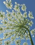 Sunny wild carrot blossom Stock Photo