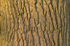 Sunny willow tree bark detail. Background of a sunny willow tree bark, filled frame Stock Photo