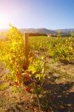sunny winnica Fotografia Stock