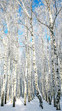 Sunny winter birch forest Stock Images