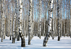 Sunny winter birch grove Stock Images