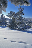 Sunny winter day. Pines covered by snow at sunny winter day Stock Photography