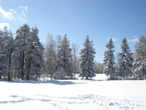 Sunny winter day. Quiet winter day afternoon in the mountains, snow covered pine trees Stock Photo