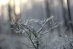 Sunny winter day. Rime on a blueberry branches Stock Photo