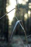 Sunny winter day. Snow on a reed leaf Royalty Free Stock Photography