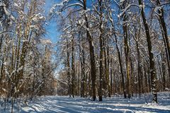 Sunny winter day in the wood covered with snow Stock Photos