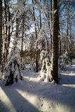 Sunny winter day in the wood covered with snow Stock Image