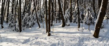 Sunny winter day in the wood covered with snow Royalty Free Stock Photography