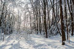 Sunny winter day in the wood covered with snow Royalty Free Stock Image