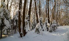 Sunny winter day in the wood covered with snow Royalty Free Stock Photo