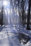 Sunny Winter Forest Stock Image