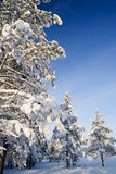 Sunny winter forest Stock Photo