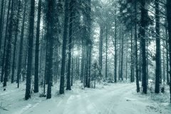 Sunny winter forest landscape Royalty Free Stock Photography