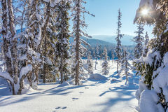 Sunny winter forest -  a lot of snow Stock Images