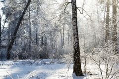 Sunny winter forest royalty free stock photography
