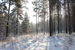 Sunny winter forest. Winter pine and birch tree forest Royalty Free Stock Photography