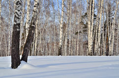Sunny winter landscape in a birch forest Royalty Free Stock Images