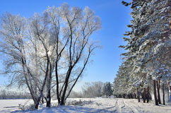 Sunny winter landscape on the edge of coniferous forest. Royalty Free Stock Images