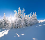 Sunny winter landscape in mountain forest Royalty Free Stock Photography