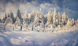 Sunny winter landscape in the mountain forest. Royalty Free Stock Image