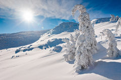 Sunny winter landscape of mountains. Bended toptrees of fir trees after snowfall on sunny, windy day in East Carpathians Royalty Free Stock Images