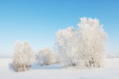 Sunny winter landscape with white trees Royalty Free Stock Photography