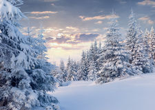 Sunny winter morning in mountain forest. Royalty Free Stock Photo