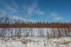 Sunny winter`s day in the Sax-Zim Bog with snow, branches from shrubs, forest, and vivid blue skies.  royalty free stock photo