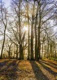 Sunny Winter Woodland Morning em Worcestershire Fotografia de Stock