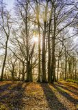 Sunny Winter Woodland Morning en Worcestershire fotografía de archivo