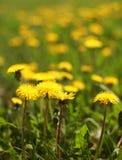 Sunny yellow dandelions closeup Stock Image