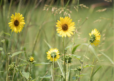 Sunny Yellow Field Flowers. A small group of yellow field flowers in a meadow; summer scene stock image