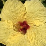 Hibiscus flower. Sunny yellow hibiscus flower with stamens and red Stock Photography