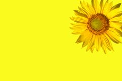 Sunny yellow sunflower. Sunflower shining on a bright yellow background Stock Photos