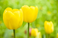 Sunny yellow tulips over green background. For card Royalty Free Stock Photo