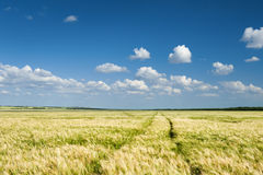Sunny yellow wheat field and blue sky Stock Images