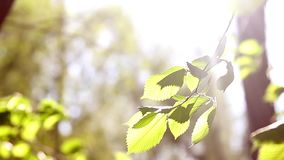 Sunny young green spring leaves of birch tree, natural eco seasonal background with copy space. stock video
