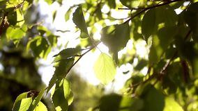 Sunny young green spring leaves of birch tree, natural eco seasonal background with copy space. stock footage