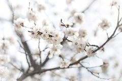 Sunnyblooming branch of apricot colorful spring background Royalty Free Stock Photo