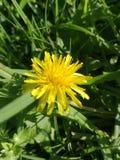 Sunnyside-Blume Lizenzfreies Stockfoto