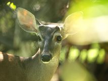 Sunplay in deer image Stock Photography