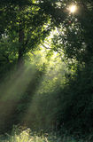 Sunray. Goes through forest branches royalty free stock images