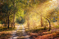 Sunray in the Autumn Forest Royalty Free Stock Image