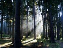 Sunray in foresta Fotografie Stock Libere da Diritti