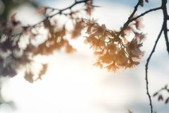 Sunray of pink cherry blossoms or sakura on the tree in winter with blue sky background. Sunray of pink cherry blossoms or sakura on the tree in winter with royalty free stock photos