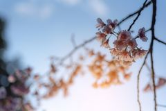 Sunray of pink cherry blossoms or sakura on the tree in winter with blue sky background. Sunray of beautiful pink cherry blossoms or sakura with blue sky stock photos