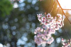 Sunray of pink cherry blossoms or sakura on the tree in winter with blue sky background. Sunray of pink cherry blossoms or sakura on the tree in winter with blue royalty free stock photography