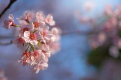 Sunray of pink cherry blossoms or sakura on the tree in winter with blue sky background. Sunray of pink cherry blossoms or sakura on the tree with blue sky stock images