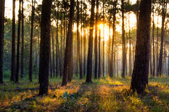 Sunray thought pines forest Stock Photos
