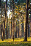 Sunray thought pines forest Stock Photography